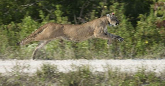Florida panther biologists encouraged by big cats' progress in 2018