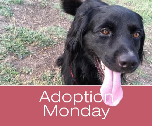 Adoption Monday: Nibbler, Flat-Coated Retriever, Killeen, TX