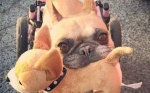 Wheelchair Bound Frenchie Wins A Spot In Worldwide Pet Calendar Contest