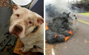 Dislocated And Disabled, These Lava Dogs In Hawaii Need Your Help!