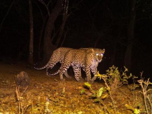 Search operation underway for leopard who escaped its enclosure in Siliguri's Bengal Safari Park