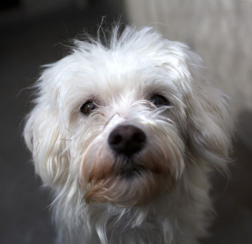 """""""BUSY BEE"""" maltese mix"""