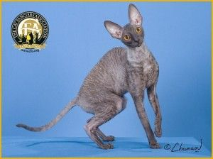 Meet the Cornish Rex