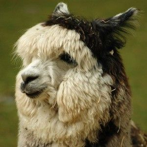 Animal Corner - The Alpaca