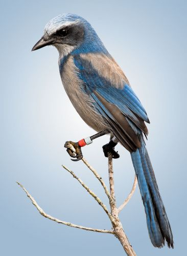 View from Sapsucker Woods: 50 Years of Florida Scrub-Jay Studies Show Value of Long-Term Research