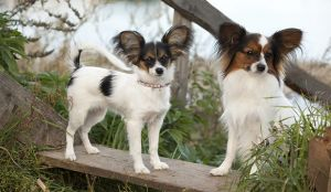Looking For A Perfect Small Pooch? - Papillon It Is