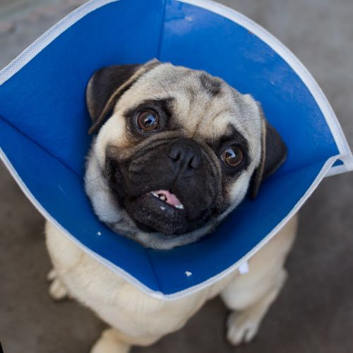 """""""YAHOO"""" lively young PUG"""