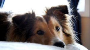 Choosing The Best Joint Supplement for a Sheltie