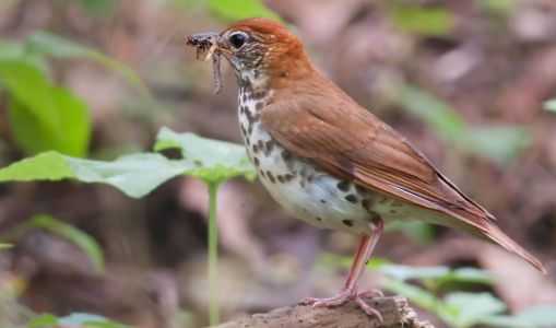 Climate Change Could Reduce Critical Food Supplies for Migratory Birds