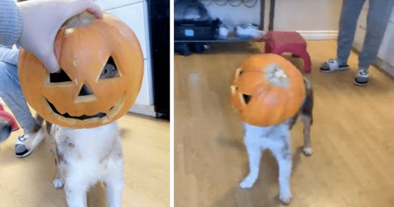 Puppy Decides To Be A Pumpkin For Halloween Without His Parent's Permission