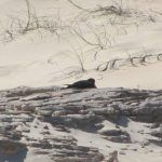 Pied Oystercatcher breeding season 2018