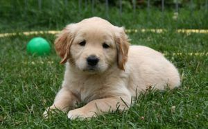 10 Breeds That Stay Puppies The Longest