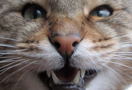 What is Feline Stomatitis?