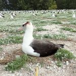 For the Birds: Midway Atoll Mouse Eradication and NEPA
