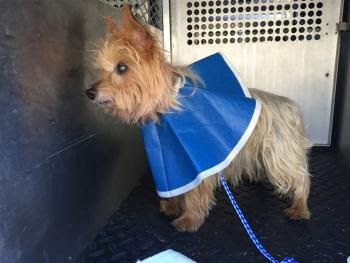 """ARCHIE"" senior Silky terrier mix"