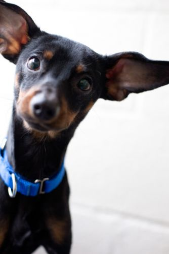 """TIGGER"" cutie young Manchester Terrier mix"