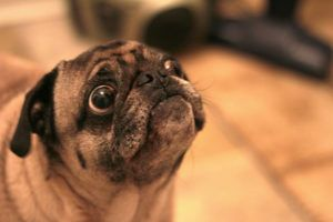 4 Things To Do When Your Pug Is Stressed