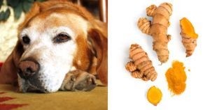 7 Reasons to Give Your 7+ Year Old Dog Turmeric