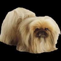Breed: Pekingese