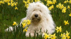 Improve Your Old English Sheepdog's Skin & Coat With This One Simple Hack