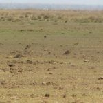 Little Curlews return to Broome