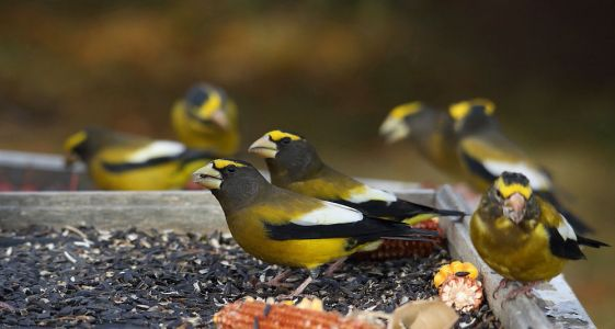 This Could Be the Winter You Get Evening Grosbeaks at Your Feeder