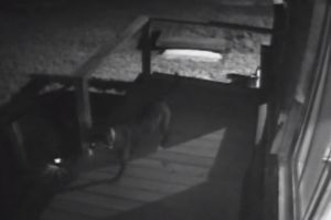 Family Risks Their Lives To Save Dog From Mountain Lion Attack