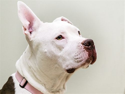 """BROWINE"" sweetie brown/white pitbull - Oregon Humane Society"