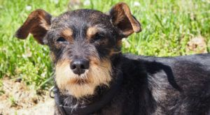 Improve Your Miniature Pinscher's Skin & Coat With This One Simple Hack