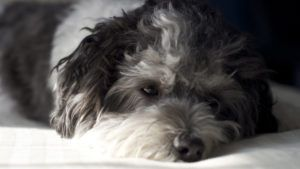 Choosing The Best Joint Supplement for a Havanese