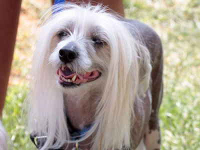 3 Simple Ways To Keep Your Chinese Crested's Teeth Clean