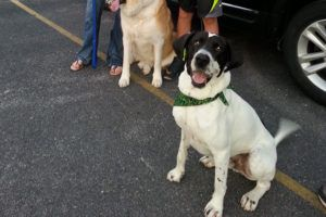 Great Dane Who Was Almost Euthanized 4 Years Ago Has Happy Family