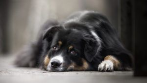 Choosing The Best Joint Supplement for a Australian Shepherd