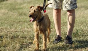 Why Irish Terrier Might Be The Perfect Family Dog