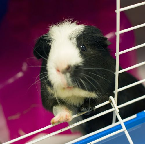 """OSCAR"" soft sociable and Saved - Guinea Pig"