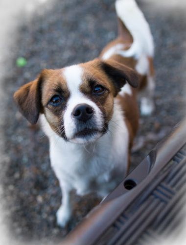 """TWIZZLER "" little American Shelter Dog mix"