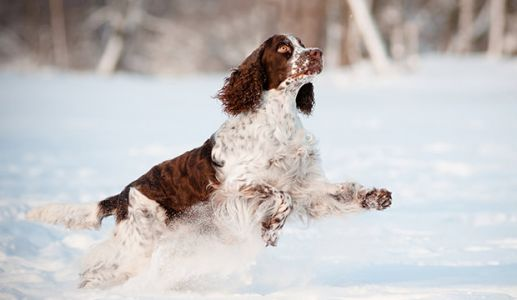 Meet The English Springer Spaniel