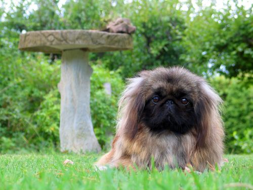 Breed Spotlight: Pekingese | Winslow Animal Hospital Dog & Cat
