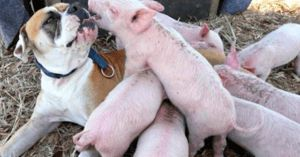 Formerly Stray Dog Adopts Rescue Piglets