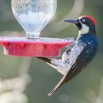 Acorn Woodpeckers Drinking Sugar Water?