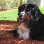 Study reveals genetic similarities of osteosarcoma between dogs and children