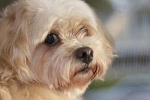 Top 3 Health Concerns For Your Maltese