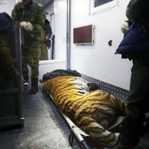 'Wounded rare tiger seeks human help' at remote border post on Russian-Chinese frontier