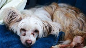 Choosing The Best Joint Supplement for a Chinese Crested
