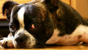 Choosing The Best Joint Supplement for a Boston Terrier