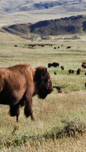 Taking Action for Bison