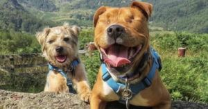 Blind Staffie Finds A Guide In His Forever Friend