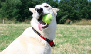 How To Teach Your Dog To Fetch & Retrieve