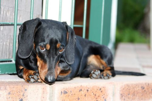 Breed Spotlight: Dachshunds | Winslow Animal Hospital Dog & Cat