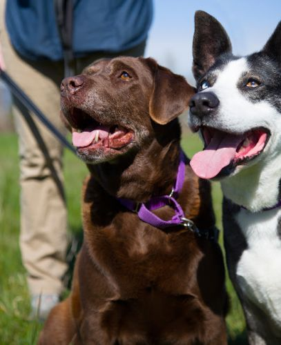 """BELLA"" lab ""NINA"" big sweet bonded pair - good with cats, kids, dogs"